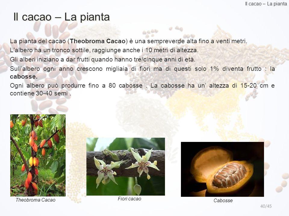 40/45 Il cacao – La pianta La pianta del cacao (Theobroma Cacao) è una sempreverde alta fino a venti metri. L'albero ha un tronco sottile, raggiunge a