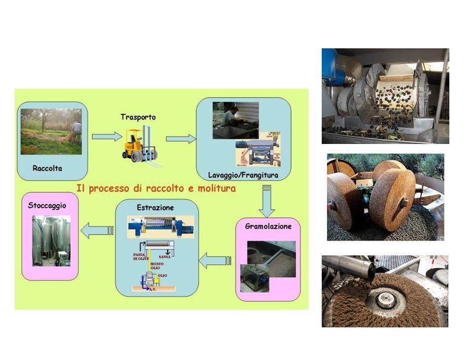 SI divide in 6 fasi essenziali : 1- Lavaggio. Le olive vengono riversate in una LAVATRICE che provvede alla eliminazione di residui terrieri, polveros