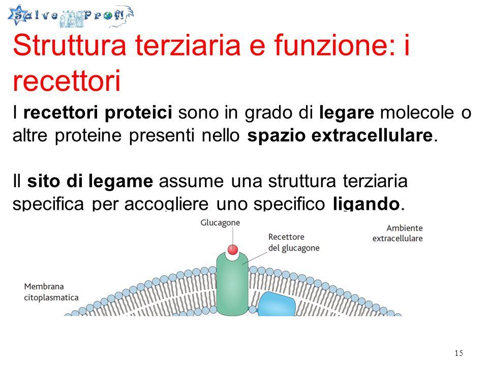 15 Struttura terziaria e funzione: i recettori I recettori proteici sono in grado di legare molecole o altre proteine presenti nello spazio extracellu