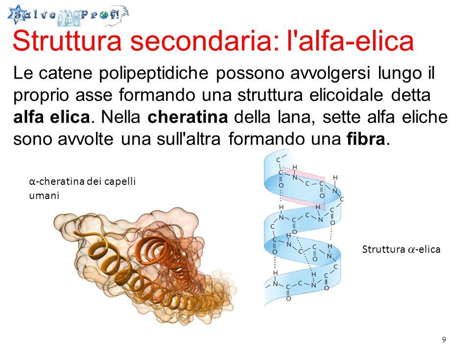 10 Struttura secondaria: il foglietto beta Se si scalda l alfa-cheratina, si rompono i legami idrogeno tra le unità dell elica e la proteina assume una forma più allungata e rigida: la beta-cheratina, fatta di foglietti beta.