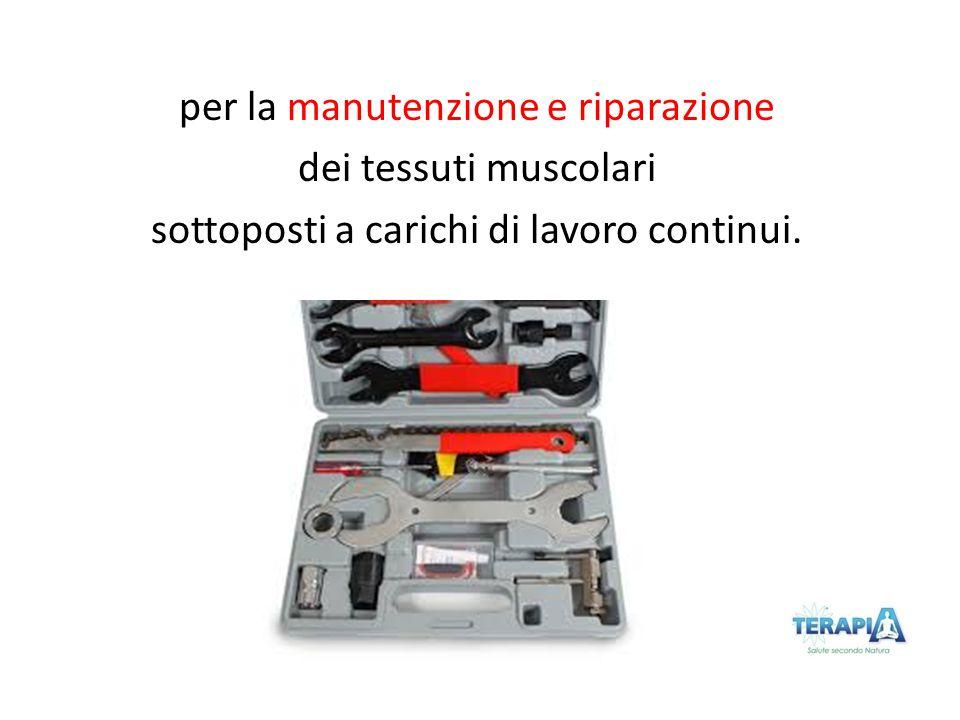 per la manutenzione e riparazione dei tessuti muscolari sottoposti a carichi di lavoro continui.