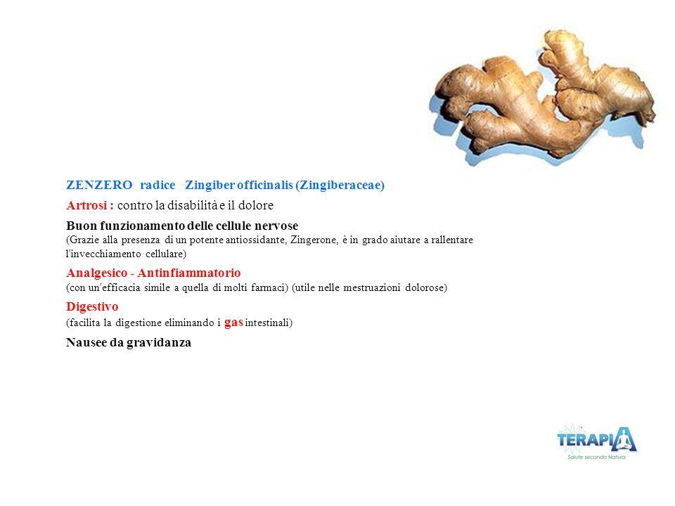 ZENZERO radice Zingiber officinalis (Zingiberaceae) Artrosi : contro la disabilità e il dolore Buon funzionamento delle cellule nervose (Grazie alla p