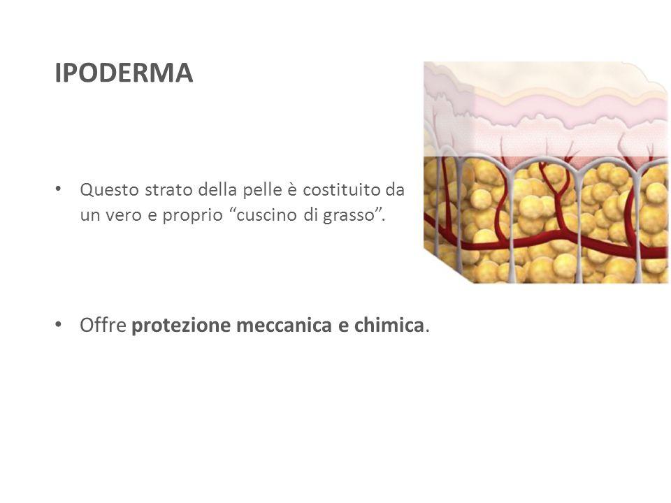 """Questo strato della pelle è costituito da un vero e proprio """"cuscino di grasso"""". Offre protezione meccanica e chimica. IPODERMA"""