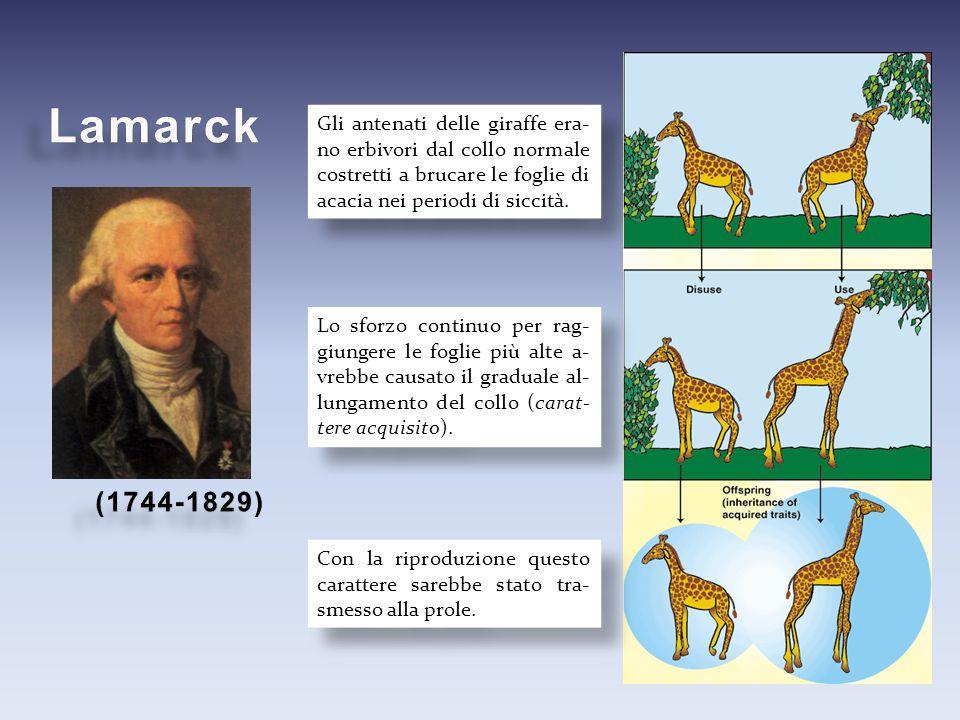 Gli antenati delle giraffe era- no erbivori dal collo normale costretti a brucare le foglie di acacia nei periodi di siccità. Lo sforzo continuo per r