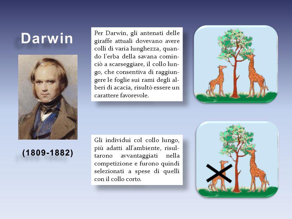 Per Darwin, gli antenati delle giraffe attuali dovevano avere colli di varia lunghezza, quan- do l'erba della savana comin- ciò a scarseggiare, il col