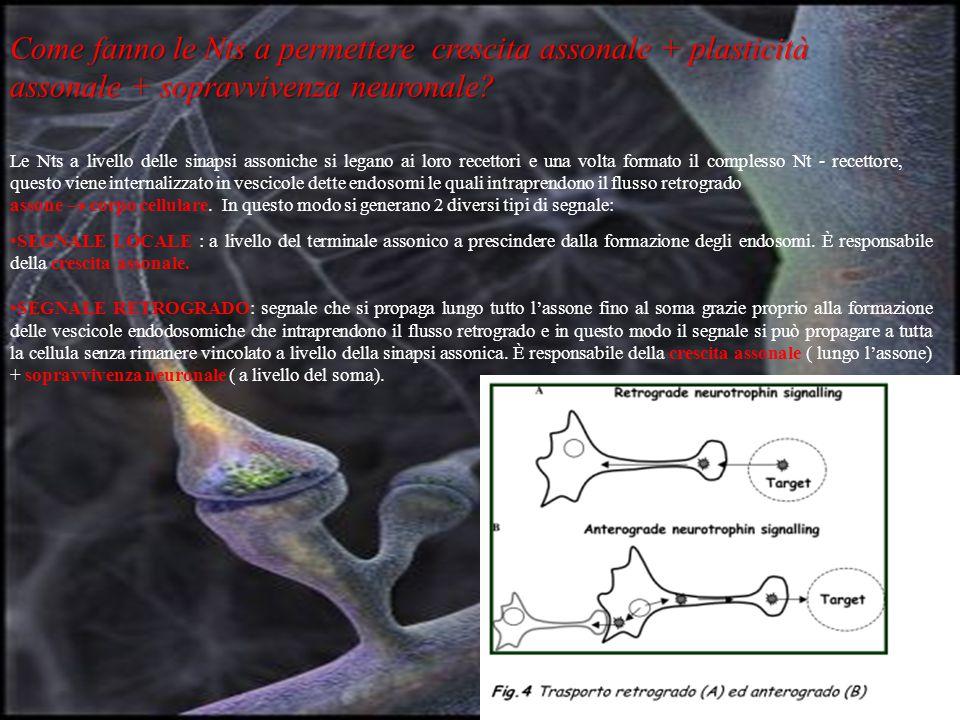 Come fanno le Nts a permettere crescita assonale + plasticità assonale + sopravvivenza neuronale.