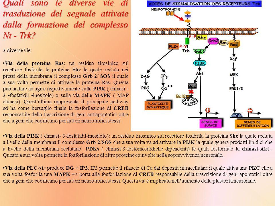 Quali sono le diverse vie di trasduzione del segnale attivate dalla formazione del complesso Nt - Trk.