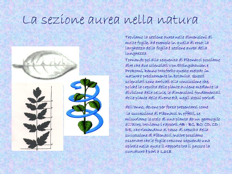 La sezione aurea nella natura Troviamo la sezione aurea nelle dimensioni di molte foglie, ad esempio in quella di rosa: la larghezza della foglia è se