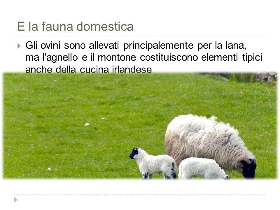 E la fauna domestica  Gli ovini sono allevati principalemente per la lana, ma l agnello e il montone costituiscono elementi tipici anche della cucina irlandese En savoir plus : http://www.easyviaggio.com/irlanda/le-pecore- 1761#ixzz3V1HlTKE6http://www.easyviaggio.com/irlanda/le-pecore- 1761#ixzz3V1HlTKE6
