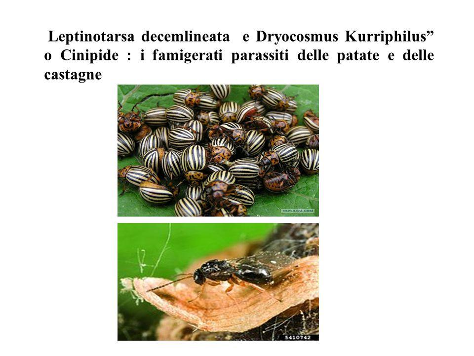 """Leptinotarsa decemlineata e Dryocosmus Kurriphilus"""" o Cinipide : i famigerati parassiti delle patate e delle castagne"""