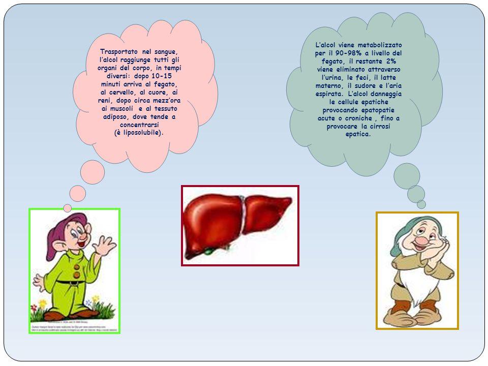 Trasportato nel sangue, l'alcol raggiunge tutti gli organi del corpo, in tempi diversi: dopo 10-15 minuti arriva al fegato, al cervello, al cuore, ai