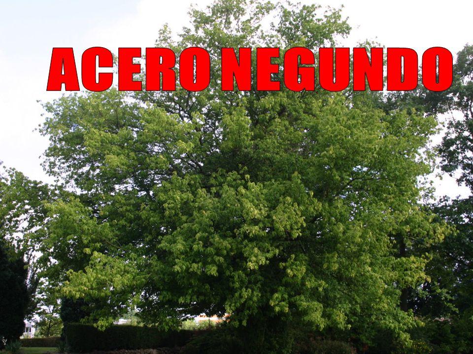 ACERO NEGUNDO Caratteristiche generali Dimensione, tronco e corteccia Può avere portamento arboreo, con chioma medio-alta e globosa, o arbustivo-cespuglioso, con più fusti basali, chioma bassa con apice allargato; arriva a 10-15 m di altezza.