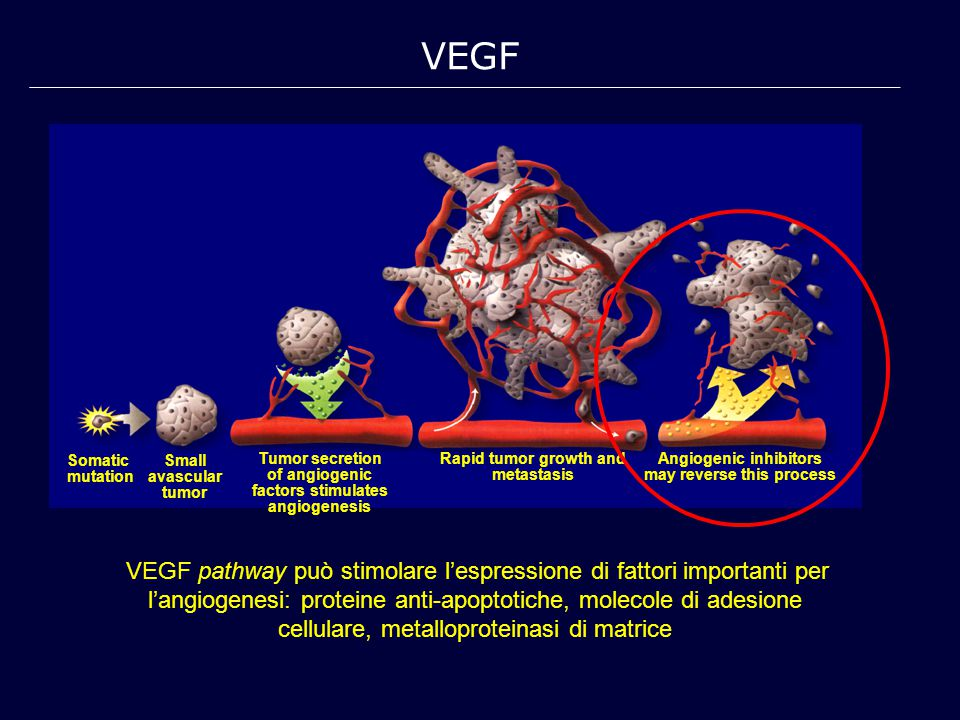VEGF pathway può stimolare l'espressione di fattori importanti per l'angiogenesi: proteine anti-apoptotiche, molecole di adesione cellulare, metalloproteinasi di matrice VEGF Somatic mutation Small avascular tumor Tumor secretion of angiogenic factors stimulates angiogenesis Rapid tumor growth and metastasis Angiogenic inhibitors may reverse this process