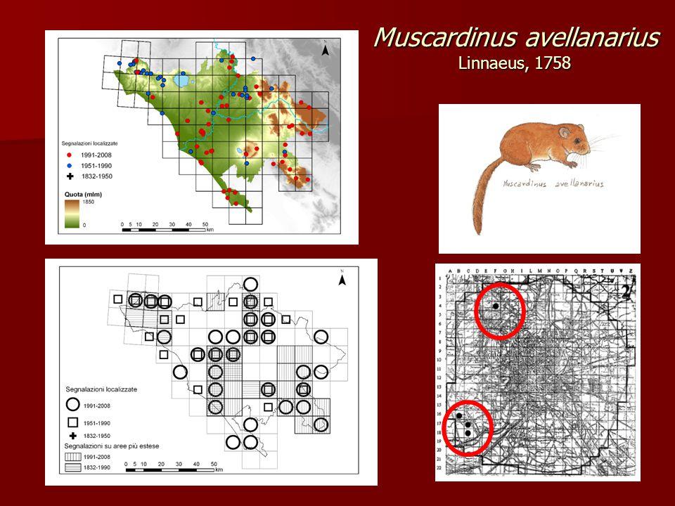 Muscardinus avellanarius Linnaeus, 1758
