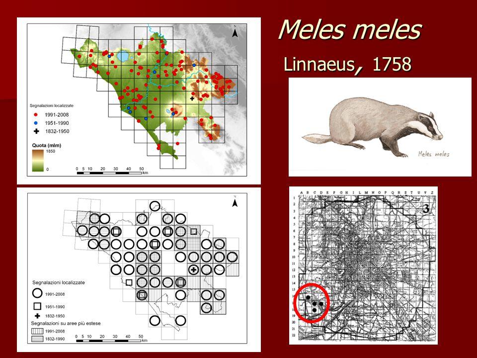 Meles meles Linnaeus, 1758