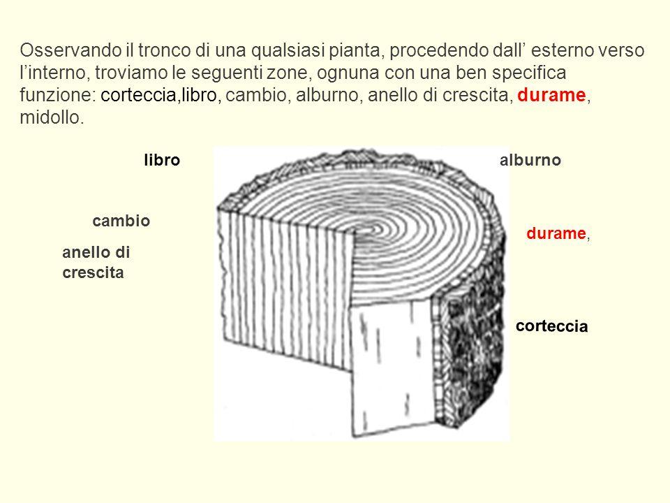 Osservando il tronco di una qualsiasi pianta, procedendo dall' esterno verso l'interno, troviamo le seguenti zone, ognuna con una ben specifica funzio