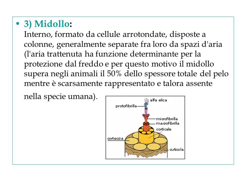 3) Midollo: Interno, formato da cellule arrotondate, disposte a colonne, generalmente separate fra loro da spazi d'aria (l'aria trattenuta ha funzione