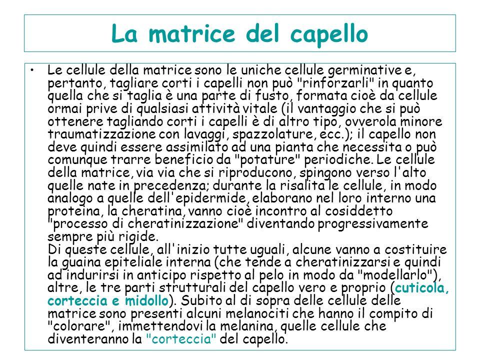La matrice del capello Le cellule della matrice sono le uniche cellule germinative e, pertanto, tagliare corti i capelli non può