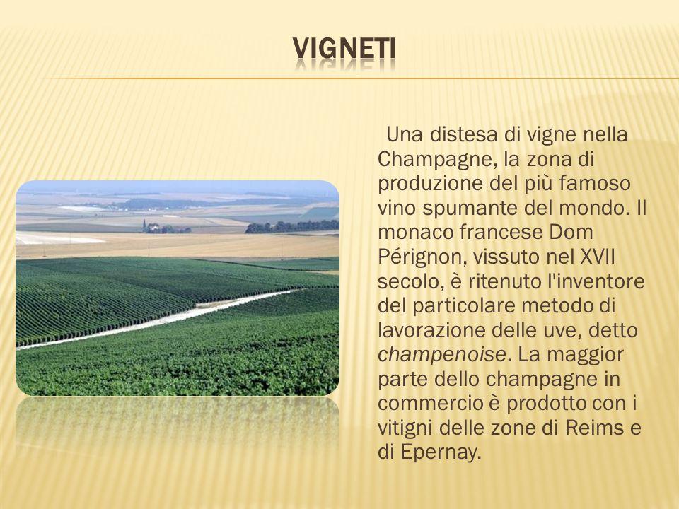 Una distesa di vigne nella Champagne, la zona di produzione del più famoso vino spumante del mondo. Il monaco francese Dom Pérignon, vissuto nel XVII