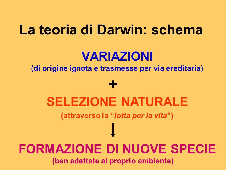 """La teoria di Darwin: schema VARIAZIONI (di origine ignota e trasmesse per via ereditaria) + SELEZIONE NATURALE (attraverso la """"lotta per la vita"""") FOR"""