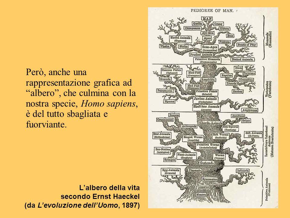 """Però, anche una rappresentazione grafica ad """"albero"""", che culmina con la nostra specie, Homo sapiens, è del tutto sbagliata e fuorviante. L'albero del"""