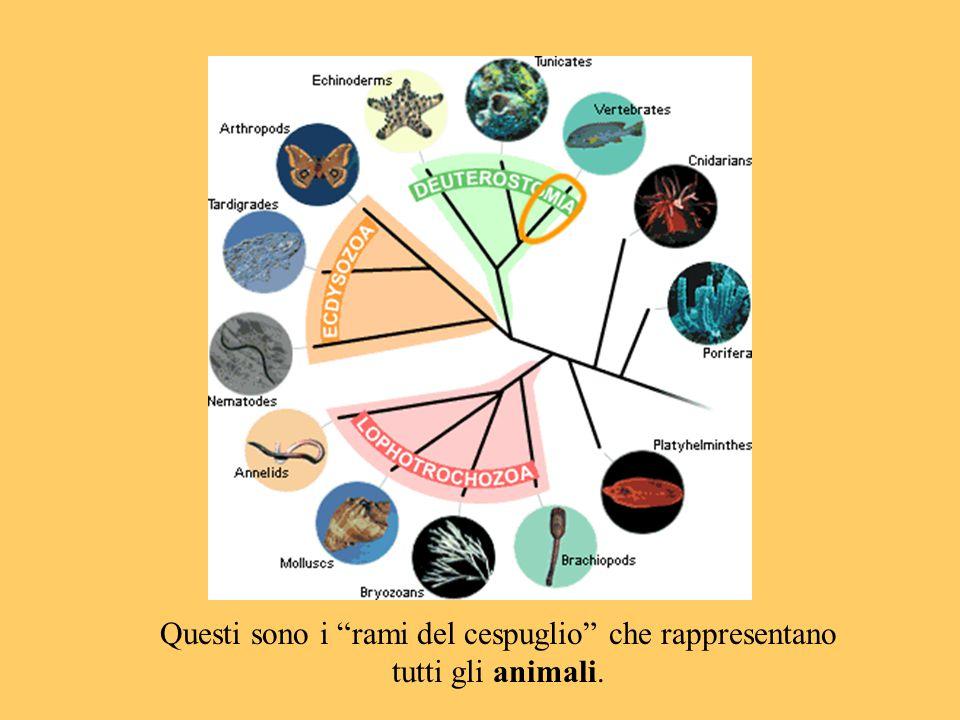 """Questi sono i """"rami del cespuglio"""" che rappresentano tutti gli animali."""
