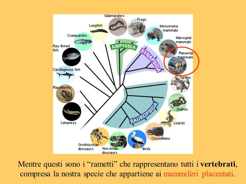 """Mentre questi sono i """"rametti"""" che rappresentano tutti i vertebrati, compresa la nostra specie che appartiene ai mammiferi placentati."""