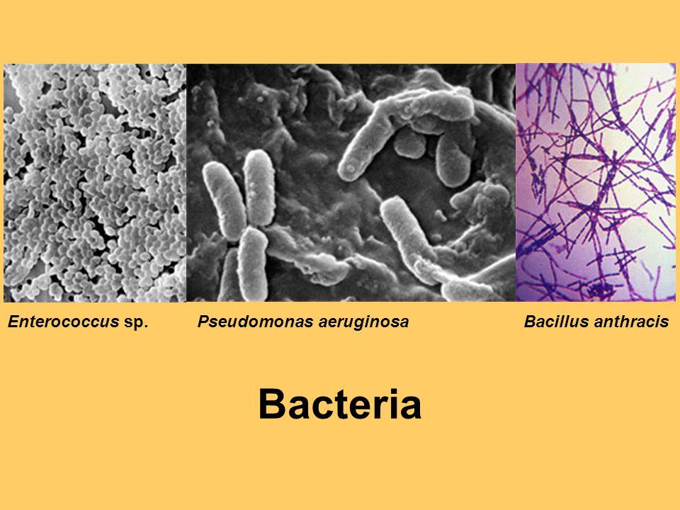 Enterococcus sp.Pseudomonas aeruginosaBacillus anthracis Bacteria
