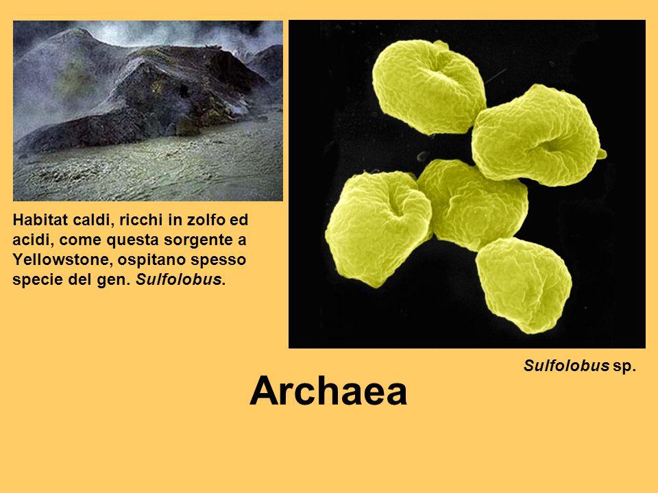 Habitat caldi, ricchi in zolfo ed acidi, come questa sorgente a Yellowstone, ospitano spesso specie del gen. Sulfolobus. Sulfolobus sp. Archaea