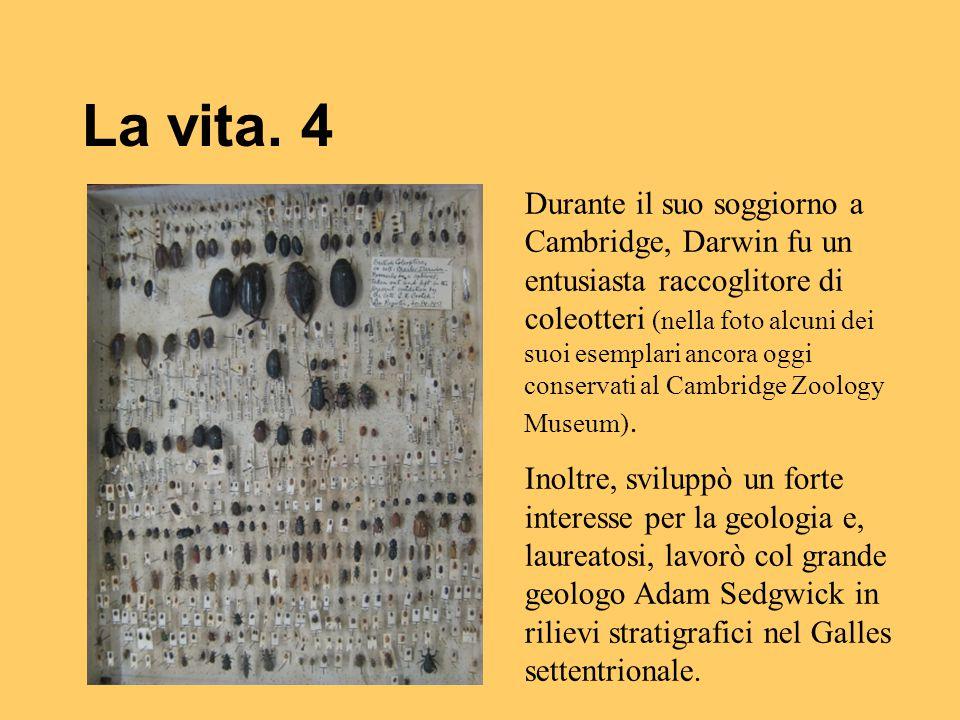 La vita. 4 Durante il suo soggiorno a Cambridge, Darwin fu un entusiasta raccoglitore di coleotteri (nella foto alcuni dei suoi esemplari ancora oggi