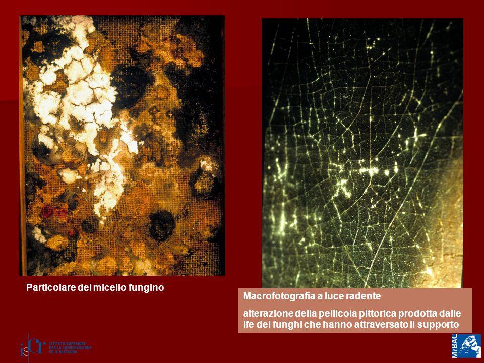 Particolare del micelio fungino Macrofotografia a luce radente alterazione della pellicola pittorica prodotta dalle ife dei funghi che hanno attraversato il supporto