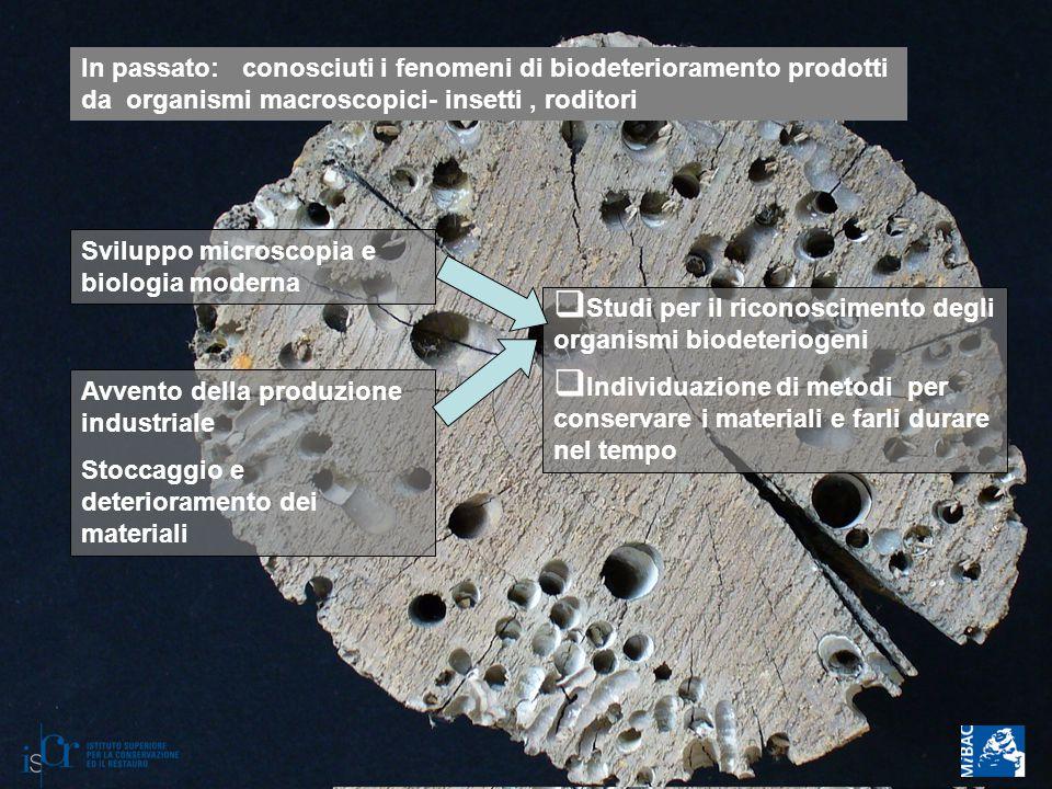 In passato: conosciuti i fenomeni di biodeterioramento prodotti da organismi macroscopici- insetti, roditori Sviluppo microscopia e biologia moderna A