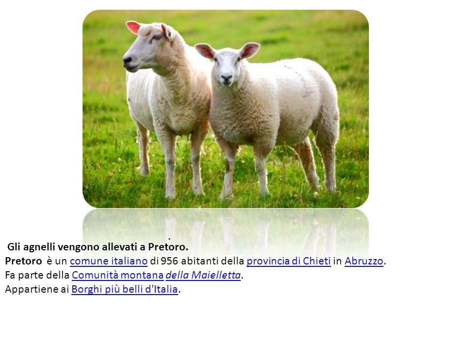 Gli agnelli vengono allevati a Pretoro.