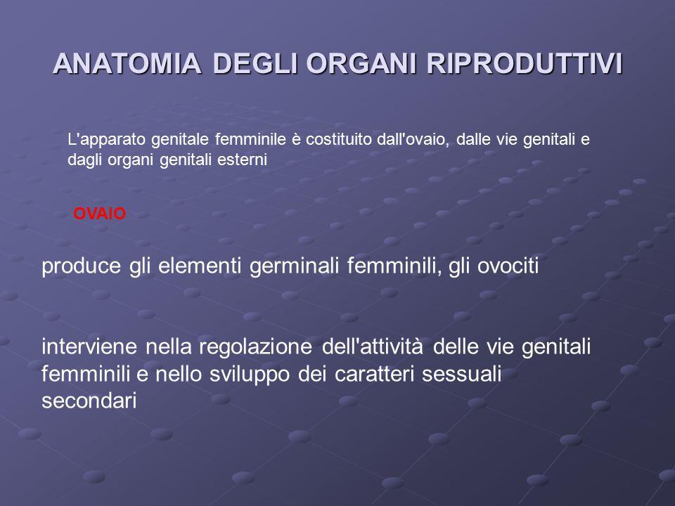 ANATOMIA DEGLI ORGANI RIPRODUTTIVI L apparato genitale femminile è costituito dall ovaio, dalle vie genitali e dagli organi genitali esterni OVAIO produce gli elementi germinali femminili, gli ovociti interviene nella regolazione dell attività delle vie genitali femminili e nello sviluppo dei caratteri sessuali secondari