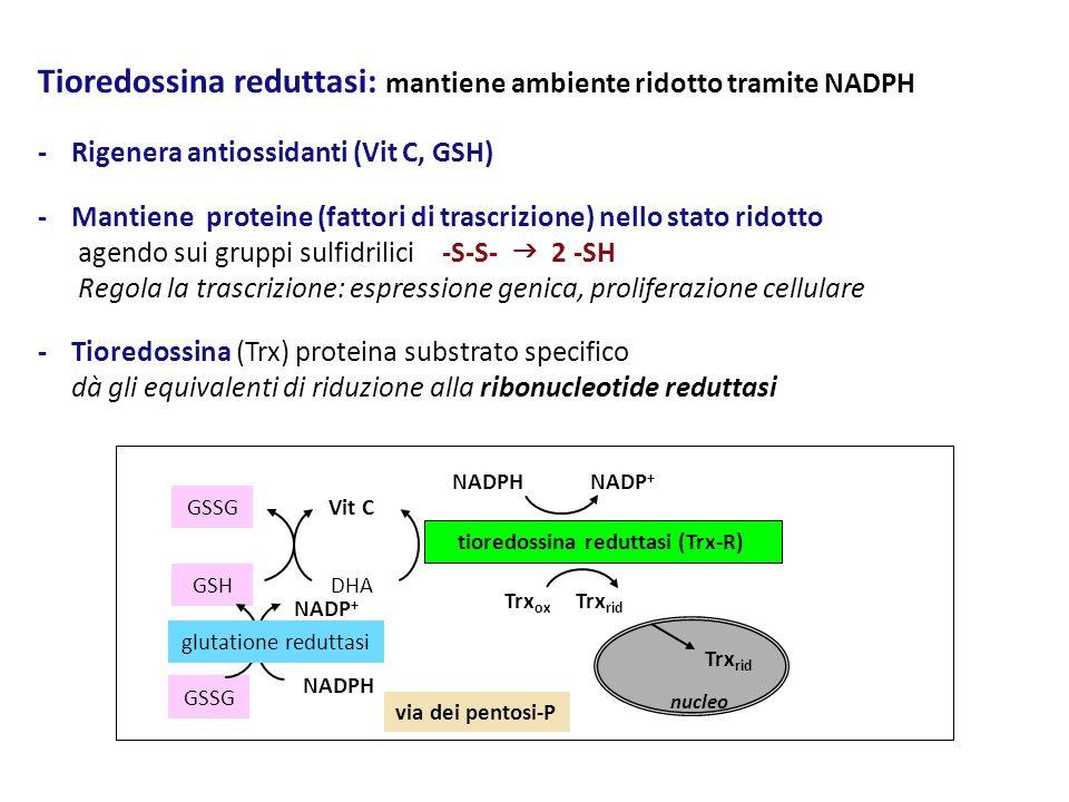 Tioredossina reduttasi: mantiene ambiente ridotto tramite NADPH - Rigenera antiossidanti (Vit C, GSH) - Mantiene proteine (fattori di trascrizione) ne