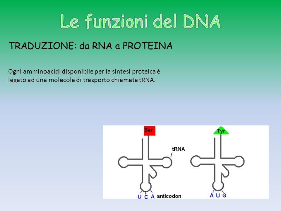 TRADUZIONE: da RNA a PROTEINA Ogni amminoacidi disponibile per la sintesi proteica è legato ad una molecola di trasporto chiamata tRNA.