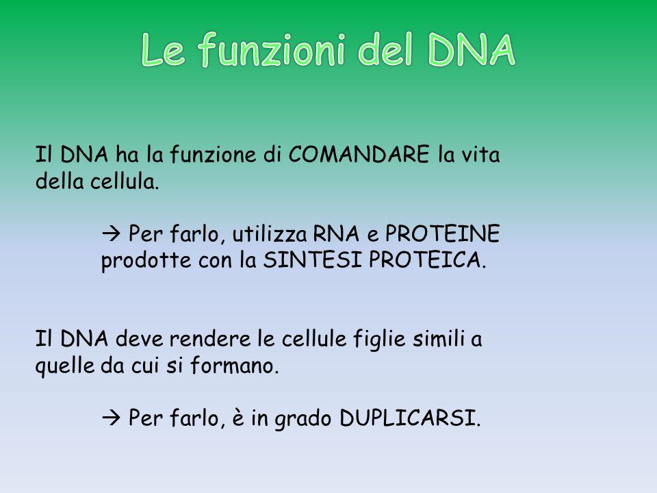 Il DNA ha la funzione di COMANDARE la vita della cellula.  Per farlo, utilizza RNA e PROTEINE prodotte con la SINTESI PROTEICA. Il DNA deve rendere l