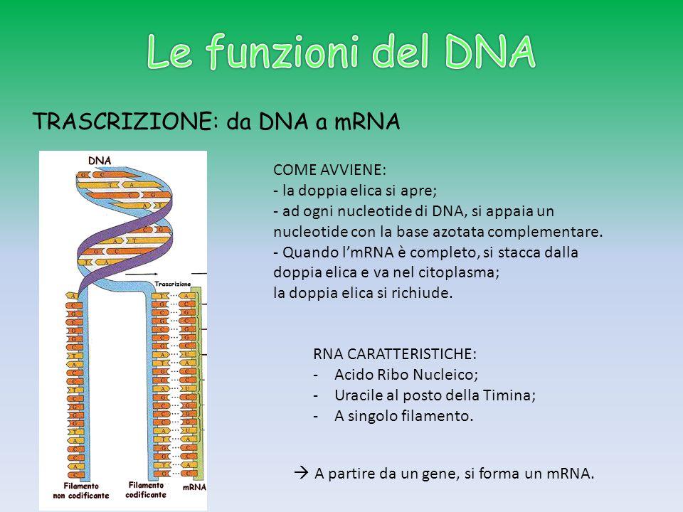 TRASCRIZIONE: da DNA a mRNA RNA CARATTERISTICHE: -Acido Ribo Nucleico; -Uracile al posto della Timina; -A singolo filamento.  A partire da un gene, s