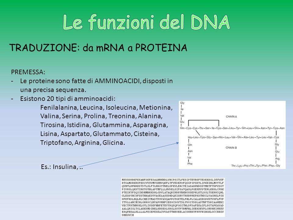 TRADUZIONE: da mRNA a PROTEINA PREMESSA: -Le proteine sono fatte di AMMINOACIDI, disposti in una precisa sequenza. -Esistono 20 tipi di amminoacidi: F