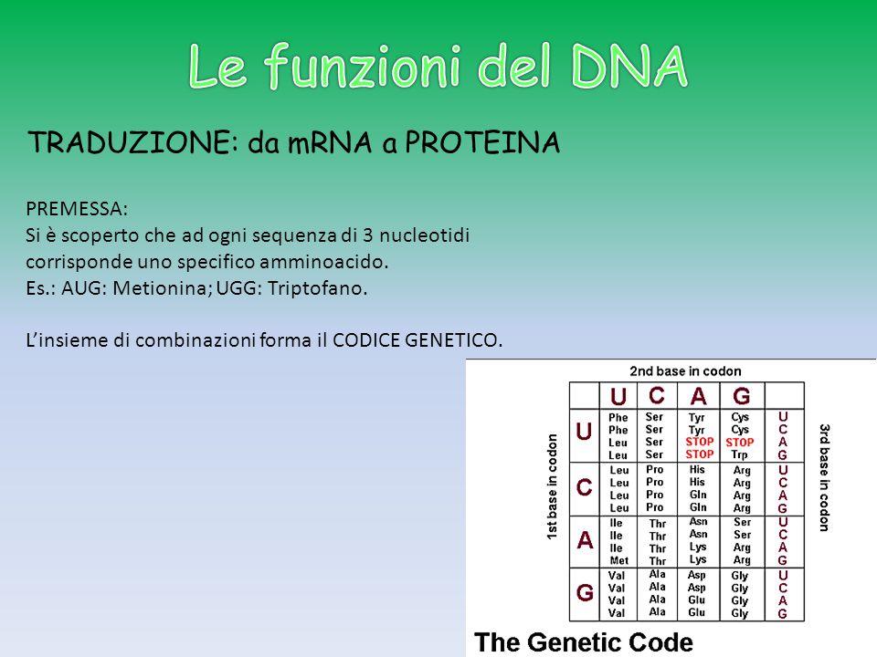 TRADUZIONE: da mRNA a PROTEINA PREMESSA: Si è scoperto che ad ogni sequenza di 3 nucleotidi corrisponde uno specifico amminoacido. Es.: AUG: Metionina