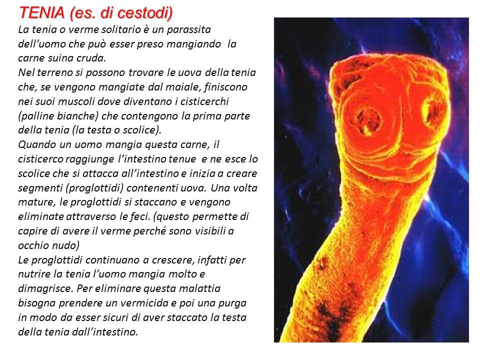 NEMATODI O VERMI CILINDRICI Si riproducono sessualmente, hanno una simmetria bilaterale, forma cilindrica con coda affusolata.