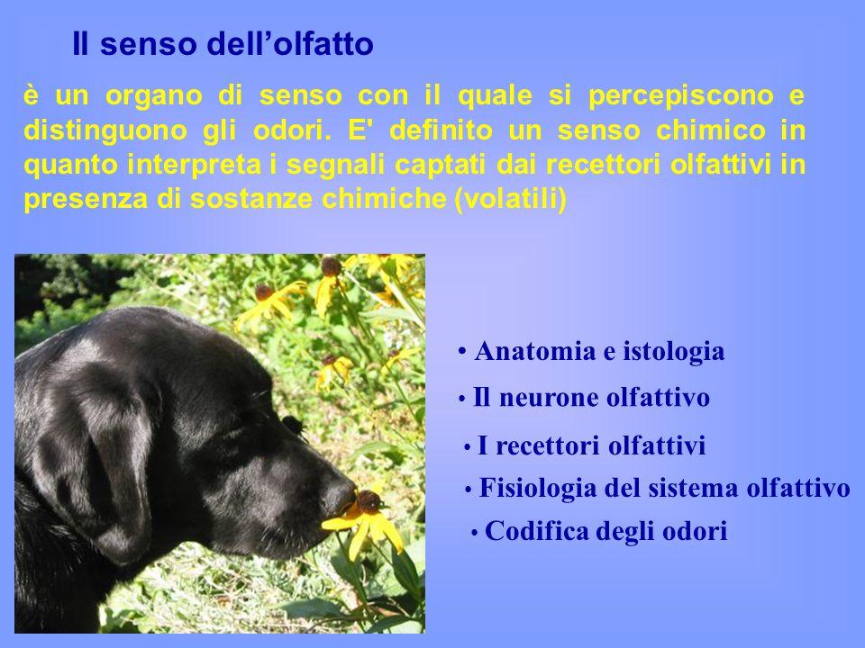 Il senso dell'olfatto Anatomia e istologia Il neurone olfattivo Codifica degli odori Fisiologia del sistema olfattivo I recettori olfattivi è un organo di senso con il quale si percepiscono e distinguono gli odori.