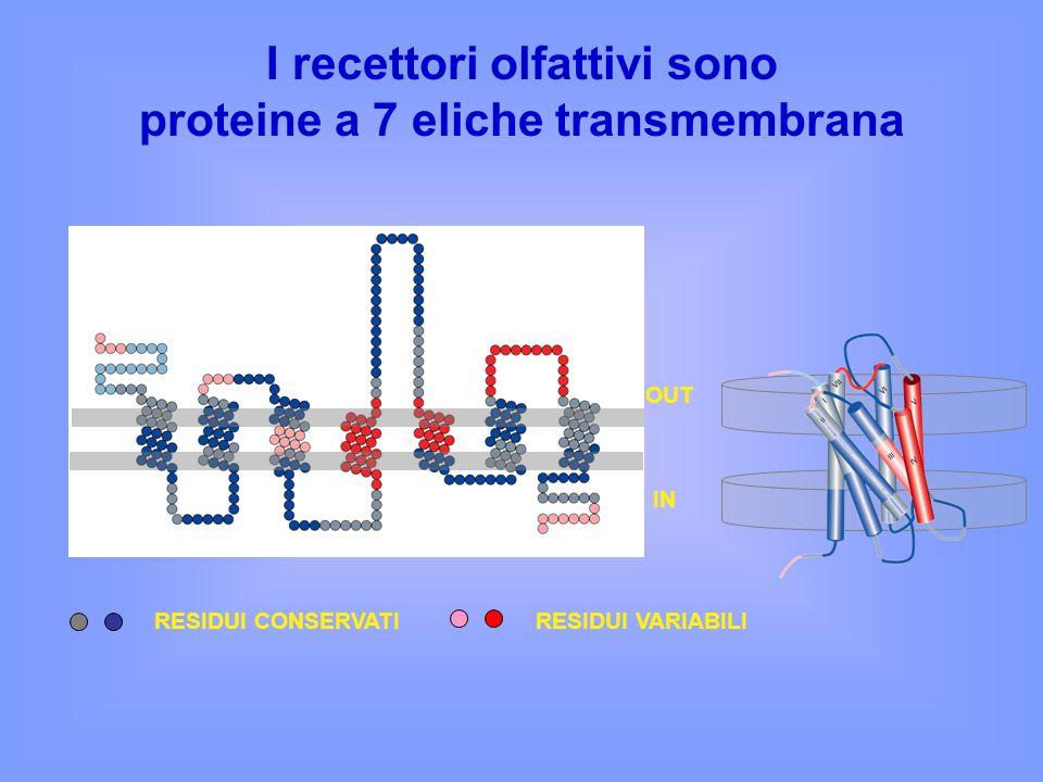 I recettori olfattivi sono proteine a 7 eliche transmembrana OUT IN RESIDUI CONSERVATIRESIDUI VARIABILI