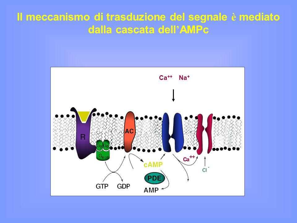 Il meccanismo di trasduzione del segnale è mediato dalla cascata dell ' AMPc Ca ++ Na +