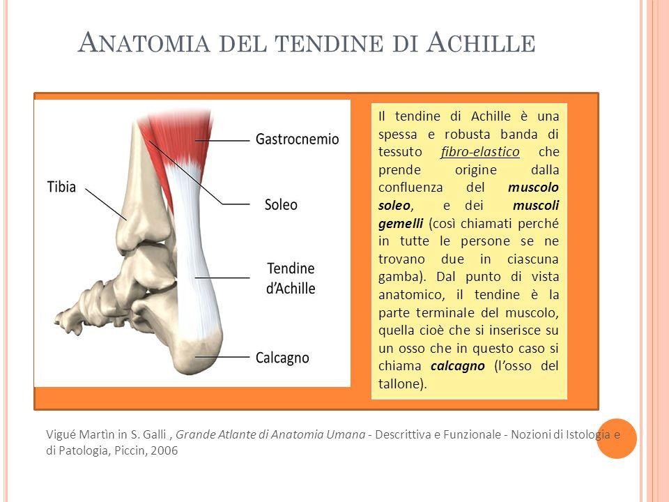 A NATOMIA DEL TENDINE DI A CHILLE Il tendine di Achille è una spessa e robusta banda di tessuto fibro-elastico che prende origine dalla confluenza del muscolo soleo, e dei muscoli gemelli (così chiamati perché in tutte le persone se ne trovano due in ciascuna gamba).
