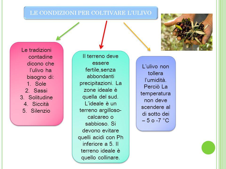 LE CONDIZIONI PER COLTIVARE L'ULIVO Le tradizioni contadine dicono che l'ulivo ha bisogno di: 1.Sole 2.Sassi 3.Solitudine 4.Siccità 5.Silenzio Le trad