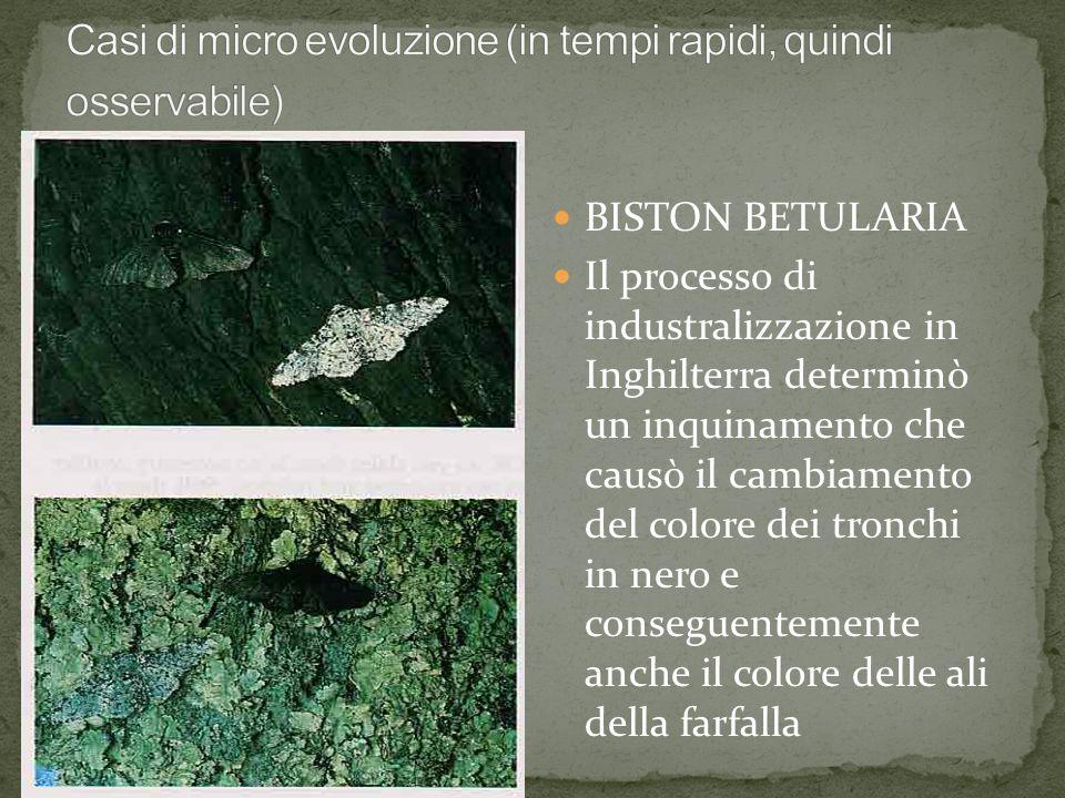 BISTON BETULARIA Il processo di industralizzazione in Inghilterra determinò un inquinamento che causò il cambiamento del colore dei tronchi in nero e