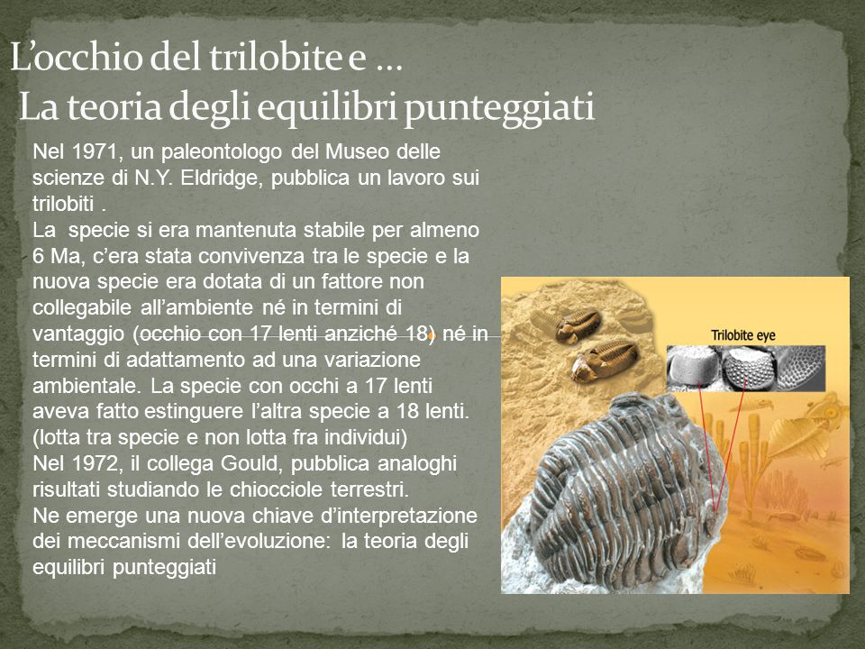 Nel 1971, un paleontologo del Museo delle scienze di N.Y. Eldridge, pubblica un lavoro sui trilobiti. La specie si era mantenuta stabile per almeno 6