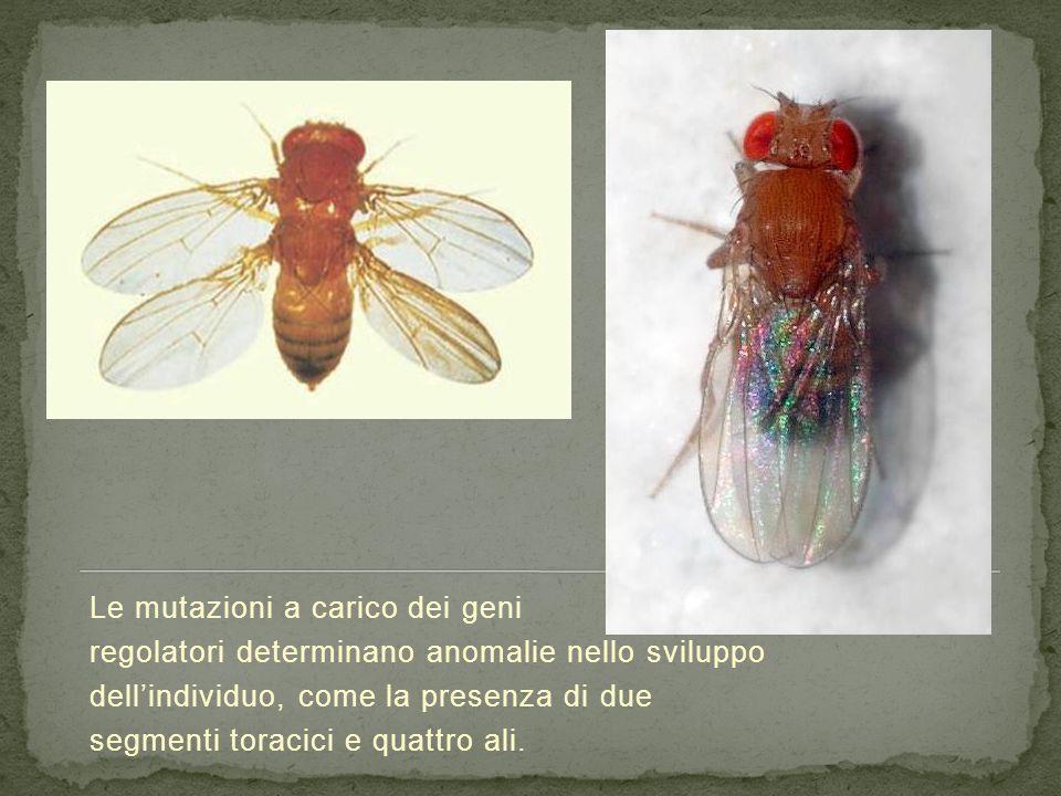 Le mutazioni a carico dei geni regolatori determinano anomalie nello sviluppo dell'individuo, come la presenza di due segmenti toracici e quattro ali.