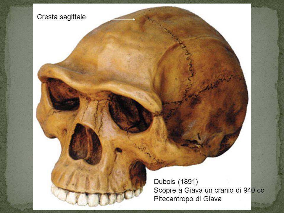 Dubois (1891) Scopre a Giava un cranio di 940 cc Pitecantropo di Giava Cresta sagittale